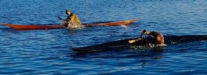 Greenland kayakers rolling in tandem